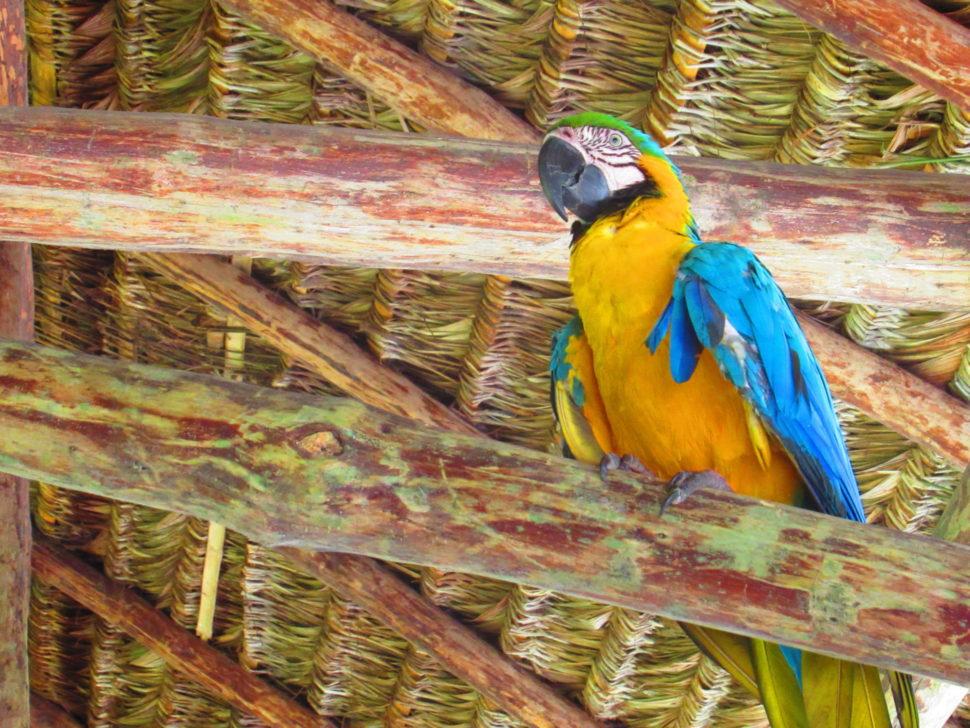 Amazonie papoušek